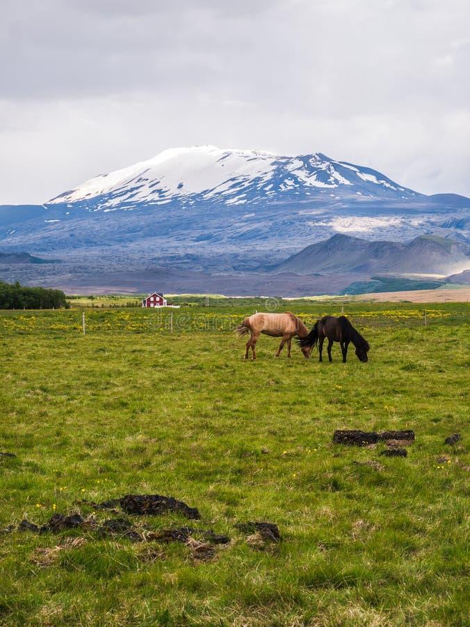 Eine Landschaft einiger Pferde auf einem Gebiet mit dem Hekla-Vulkan am Hintergrund Geschossen in Island lizenzfreies stockbild