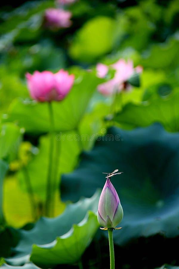 Eine Libelle bleibt auf der Knospe der Lotosblume stockfotos