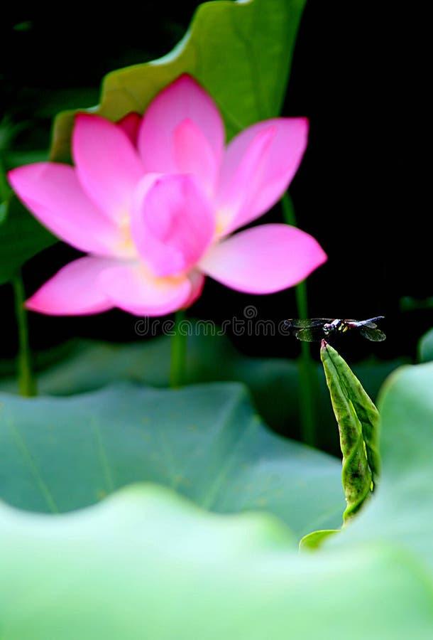 Eine Libelle bleibt auf der Knospe der Lotosblume lizenzfreie stockbilder