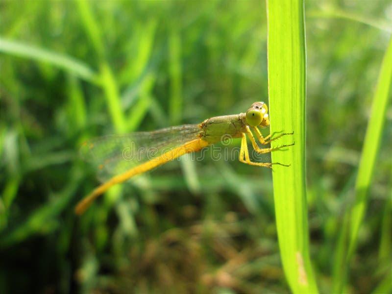 Eine Libelle, die auf Grasblatt sitzt stockbild