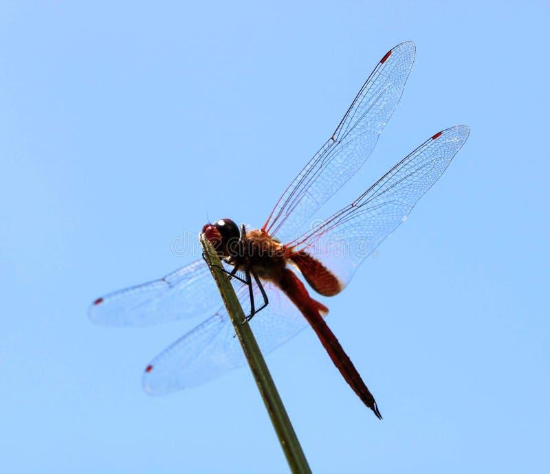Eine Libelle in einem blauen Himmel stockfoto