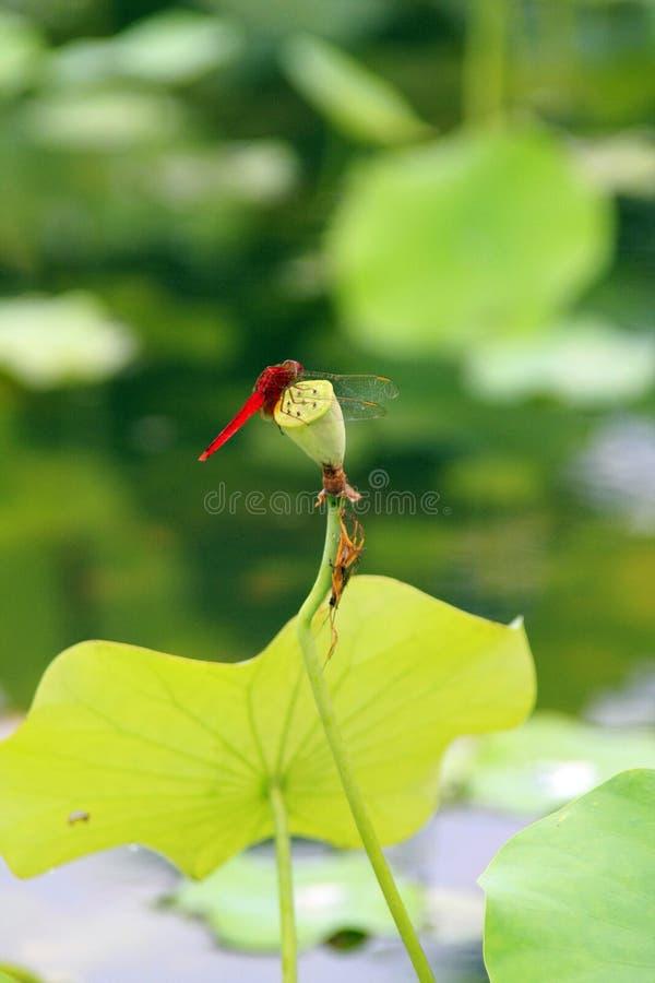 Eine Libelle im Lotosteich lizenzfreies stockbild