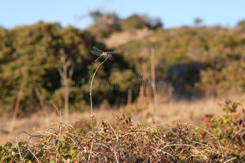 Eine Libelle sitzt auf einem getrockneten Stamm lizenzfreie stockfotos