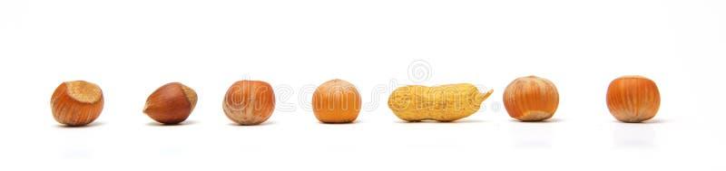 Eine Linie von sechs ganzen Haselnüssen und von einer Erdnuss lokalisiert auf weißem Hintergrund Das Konzept ist nicht wie sonst  stockfoto