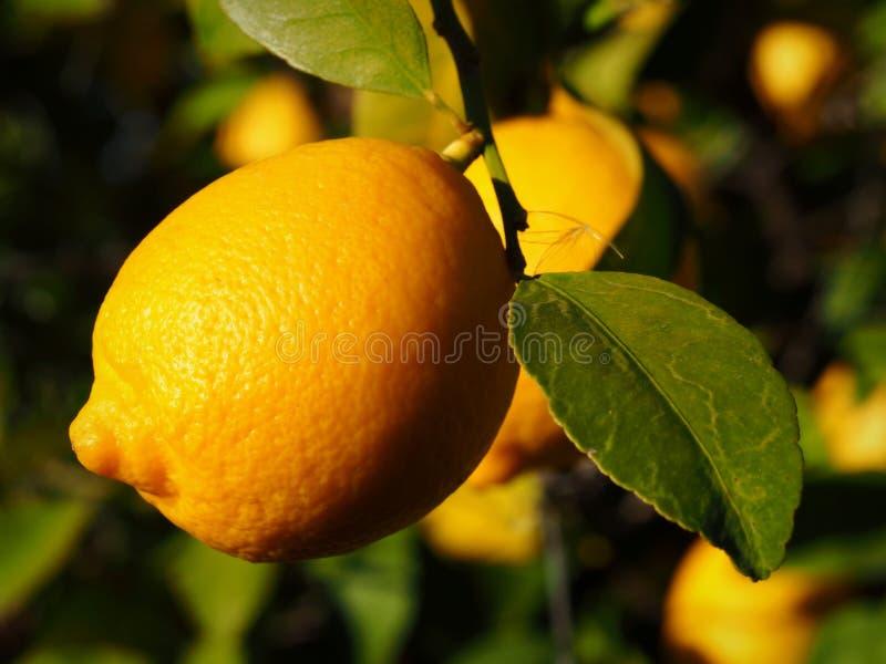 Eine Lissabon-Zitrone ist für die Ernte reif stockfotografie