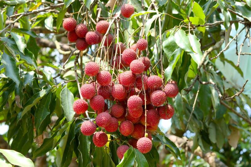 Eine Litschi und ein Blatt der frischen Frucht auf dem Litschibaum lizenzfreie stockbilder