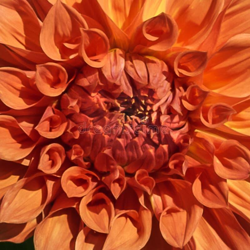 Eine lokalisierte orange Dahlienblume in voller Blüte stockfotografie