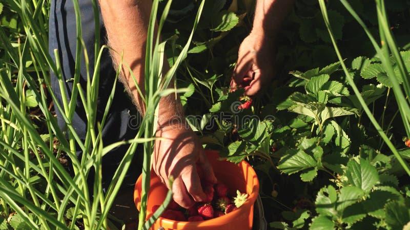 Eine männliche Hand nimmt frische rote Erdbeeren aus einem Busch und legt sie in einen Eimer Bauer pflückt saftige reife Beeren G lizenzfreies stockbild