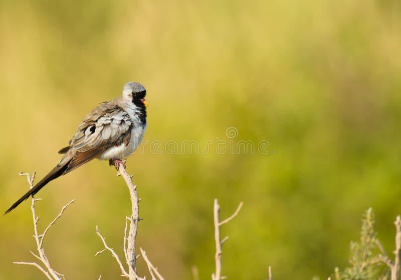 Eine männliche Namaqua Taube stockbilder