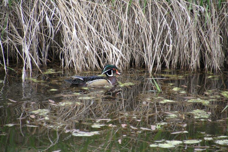 Eine männliche Schwimmen der hölzernen Ente in einem Kanal lizenzfreies stockfoto