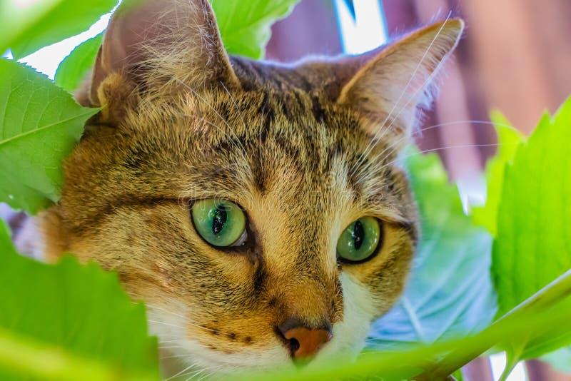 Eine Mündung einer schönen erwachsenen jungen Katze der getigerten Katze mit grünen Augen stockbild