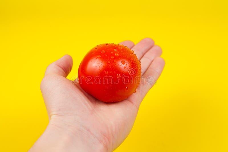 Eine Mannkochhand, die eine bunte frische rote Tomate, lokalisiert auf gelbem Hintergrund hält Weiße männliche Hand, die ein f lizenzfreie stockbilder