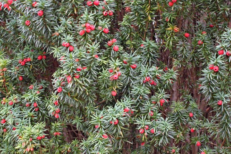 Eine Masse von den Eibenbaumbeeren, die auf einem Baum wachsen lizenzfreies stockfoto