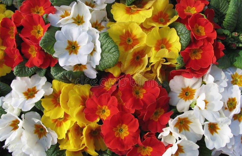 Eine Masse von Primulas stockfoto
