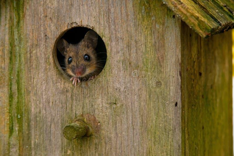 Eine Maus in einem Vogelhaus lizenzfreie stockfotografie