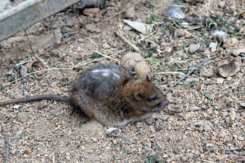 Eine Maus mit einem langen Schwanz und einem schäbigen sitzt aus den Grund und hat nicht vor allem Angst lizenzfreie stockbilder
