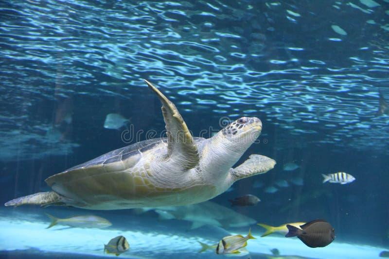 Eine Meeresschildkröte lizenzfreies stockfoto
