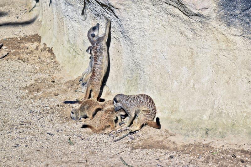 Eine meerkat Familie lizenzfreies stockbild