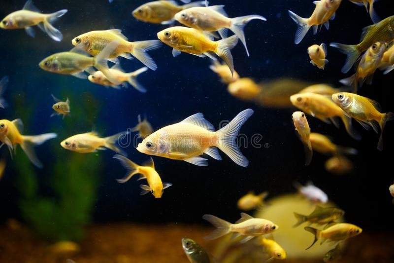 Eine Menge des Goldfisches schwimmen in einem Aquarium stockbild