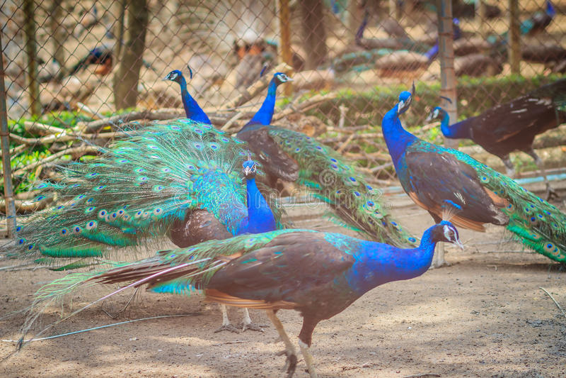 Eine Menge des indischen Peafowl, Pfau des blauen Peafowl (Pavo cristatus) stockbild