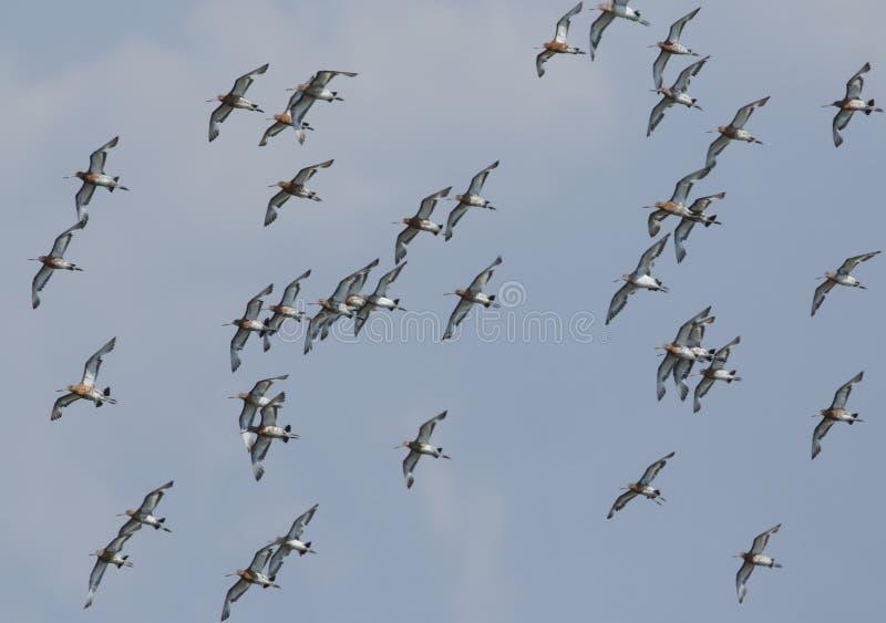 Eine Menge des schönen Uferschnepfe Limosa Limosafliegens im blauen Himmel stockbild