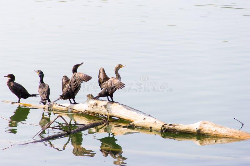 Eine Menge von den Kormoranen, die auf einem Klotz sitzen, versenkte in Wasser lizenzfreie stockfotos