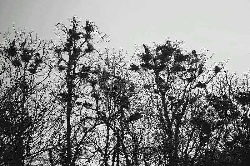 Eine Menge von den Krähen, die auf Baumasten sitzen stockfotos