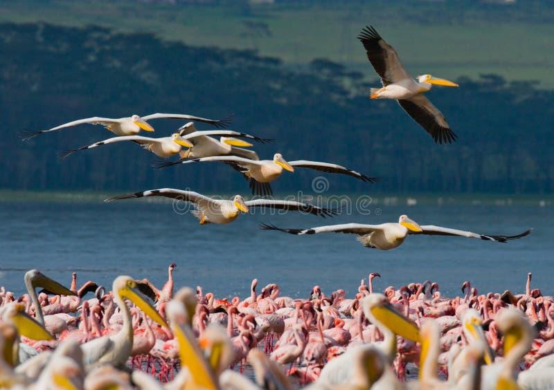 Eine Menge von den Pelikanen, die über den See fliegen See Nakuru kenia afrika stockbilder