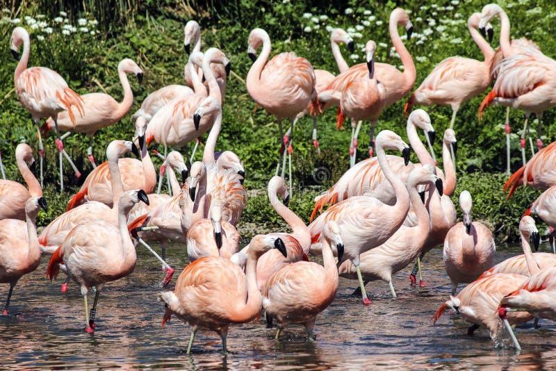 Eine Menge von Flamingos reflektierte sich in einem Fluss stockfotografie