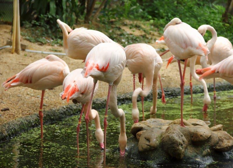Eine Menge von Flamingovogel Phoenicopterus-roseus, das auf steht lizenzfreie stockbilder