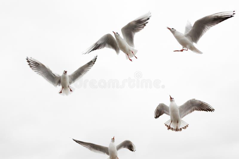 Eine Menge von hungrigen Möven gegen den Himmel stockfotografie