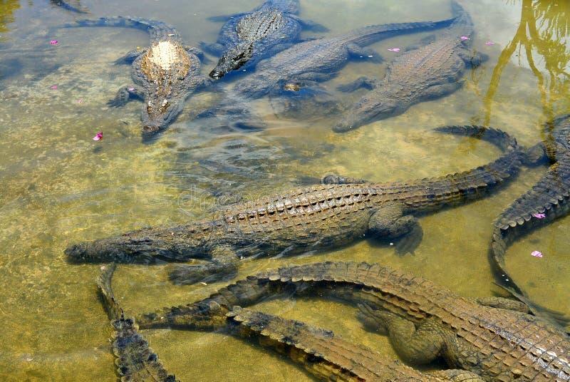 Eine Menge von Krokodilen stehen im Wasser still stockfoto