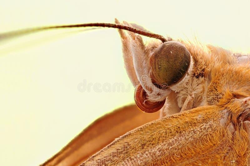 Eine Mottenkopfnahaufnahme stockfoto