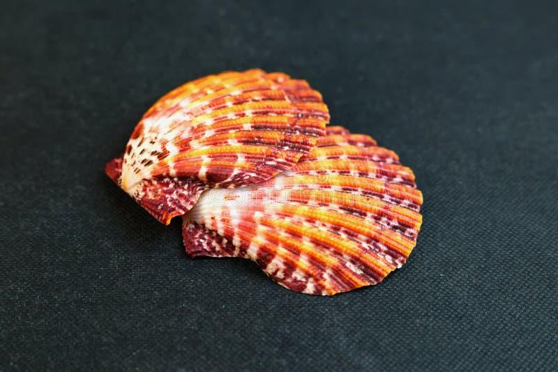 Eine Muschel Gro?e Muschelschalen stockfoto
