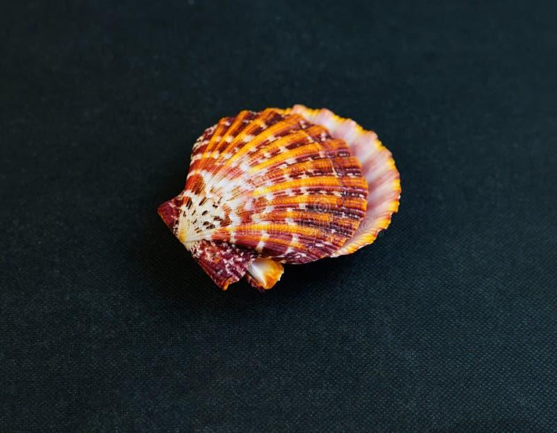 Eine Muschel Gro?e Muschelschalen stockbild