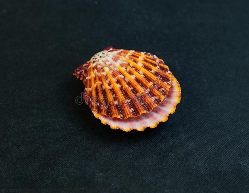 Eine Muschel Gro?e Muschelschalen stockfotos
