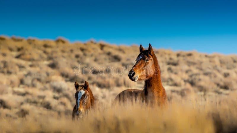 Eine Mustangstute und ihr herein die hohe Wüste lizenzfreie stockbilder