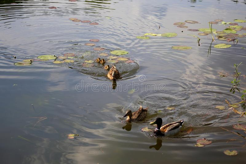 Eine Mutterente verteidigt eine Brut von vor kurzem ausgebrüteten Entlein von anderen Enten stockfotografie