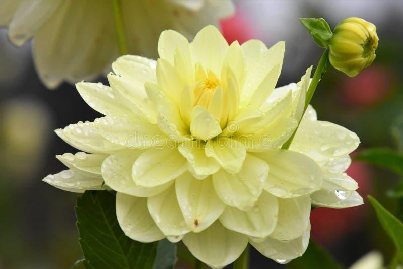 Eine Nahaufnahme der Dahlienblume gleich nach dem Regen stockbild