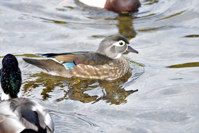 Eine Nahaufnahme der weiblichen Schwimmens der hölzernen Ente auf dem See stockbilder