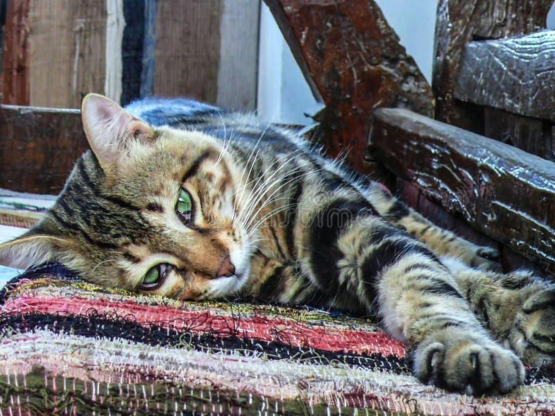 Eine Nahaufnahme einer faulen Tiger-gestreiften Katze, die mit ihr ` s fantastische große grüne Augen liegt und schaut lizenzfreie stockfotos
