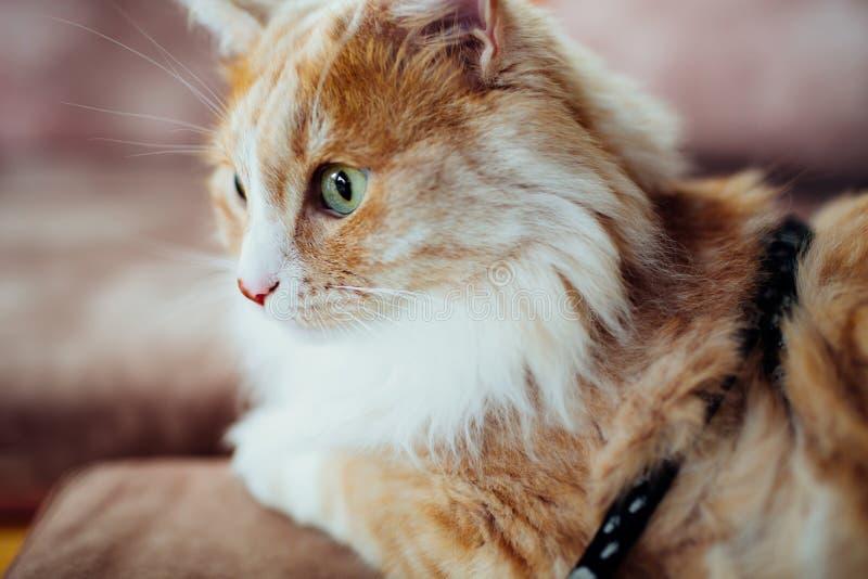 Eine Nahaufnahme einer flaumigen Katze des Ingwers mit grünen Augen stockfotografie