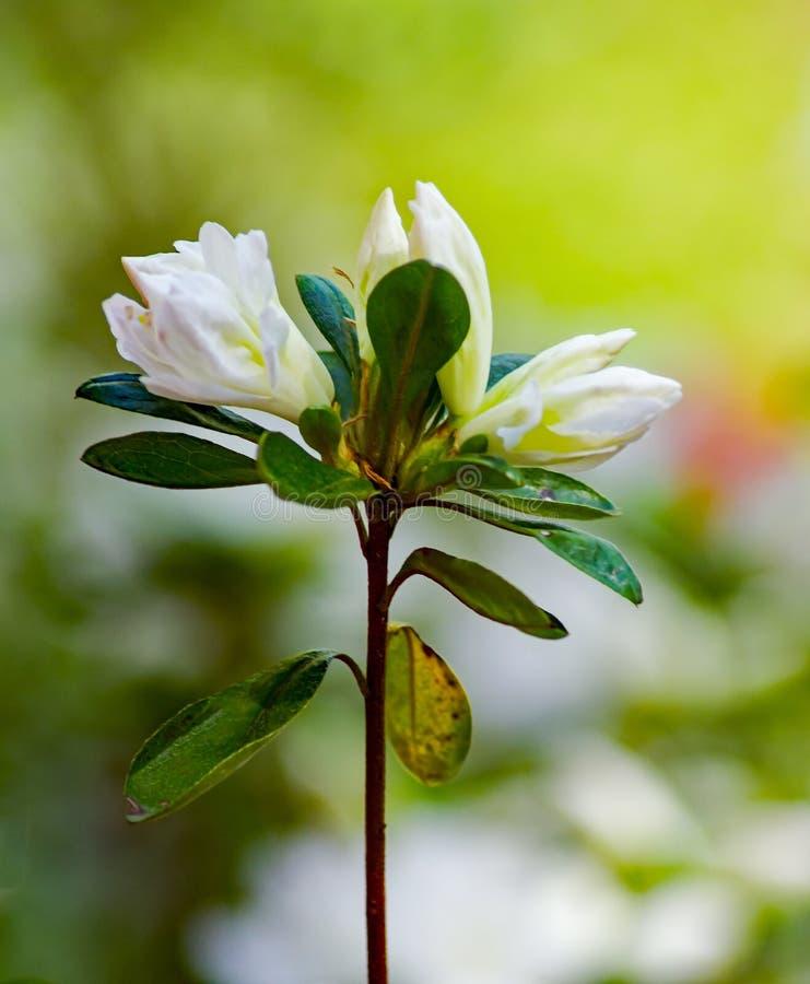 Eine Nahaufnahme einer Gruppe blühende weiße Azalea Buds lizenzfreie stockbilder