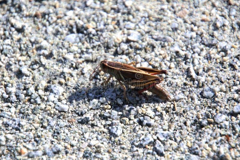 Eine Nahaufnahme einer Heuschrecke stockfotografie