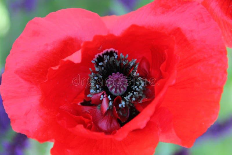 Eine Nahaufnahme einer roten Mohnblume stockbilder