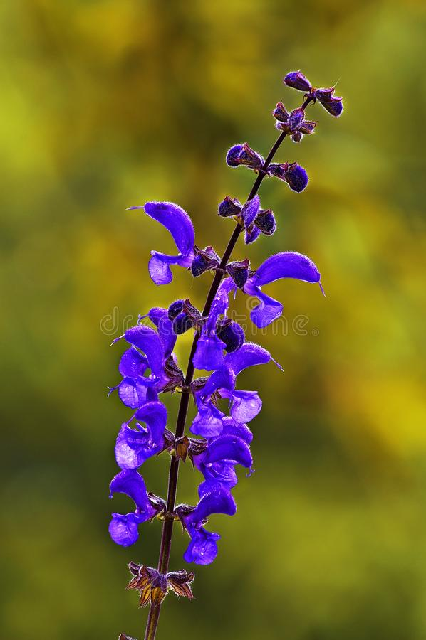 Eine Nahaufnahme einer Sage Pratensis-Blume lizenzfreie stockbilder