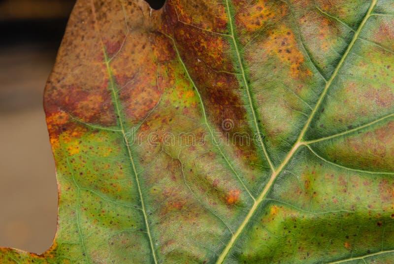 Eine Nahaufnahme eines schönen bunten Eichenblattes mit den Haupt- und Sekundäradern, Stellen von grünen, roten und orange Farben stockfotos