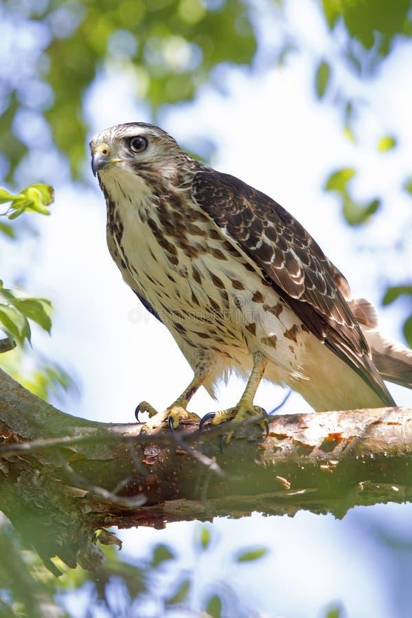 Eine Nahaufnahme eines weiblichen scharf-hinaufgekletterten Falke Accipiter striatus gehockt in einem Baum auf einer Niederlassun stockfotos