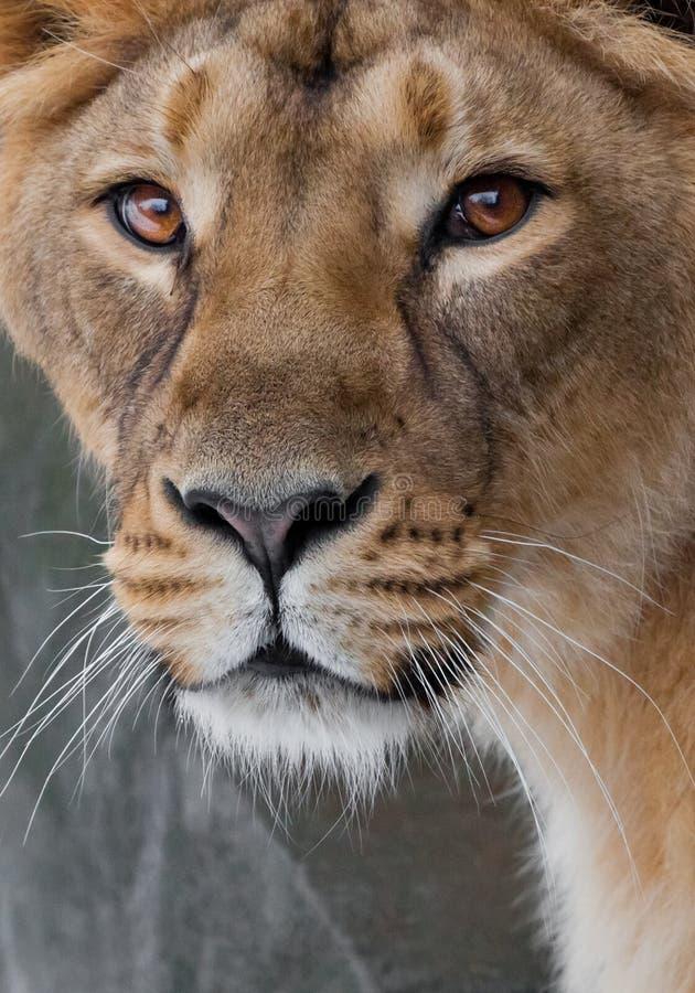 Eine Nahaufnahme voll, das Gesicht einer Löwin, schöne klare braune Augen, der Blick des Tierrechtes auf Ihnen stockfotografie