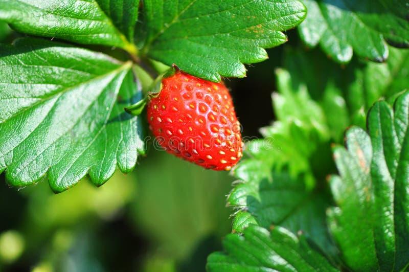 Sweetievielzahl der Erdbeerfruchtanlage u. -busches   lizenzfreie stockbilder